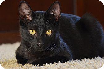 Domestic Shorthair Kitten for adoption in El Dorado Hills, California - Robin