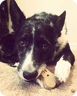 Australian Shepherd/Border Collie Mix Dog for adoption in tampa, Florida - Lacey