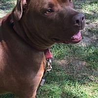 Labrador Retriever/American Pit Bull Terrier Mix Dog for adoption in Detroit, Michigan - Mocha