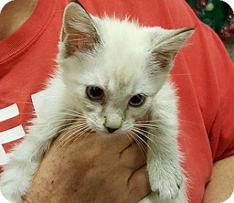 Siamese Kitten for adoption in Alhambra, California - Ellen