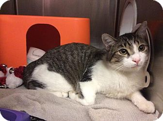 Domestic Shorthair Cat for adoption in Janesville, Wisconsin - Wonder