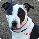 Adopt A Pet :: Gypsy(60 lb)Perfect Family Pet