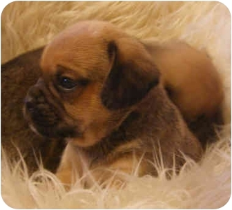 Pug/Beagle Mix Puppy for adoption in Provo, Utah - PUGGLE PUPPIES