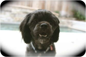 Lhasa Apso/Poodle (Miniature) Mix Dog for adoption in Lake Forest, California - Dusty