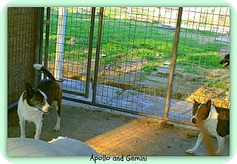 Boston Terrier/Akita Mix Dog for adoption in Eddy, Texas - Gemini