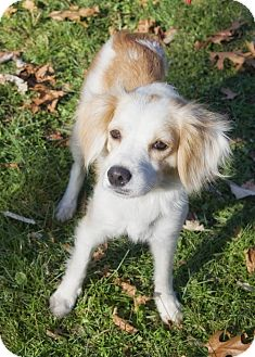 Spaniel (Unknown Type)/Sheltie, Shetland Sheepdog Mix Dog for adoption in Brooklyn, New York - Karing Karen