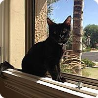 Adopt A Pet :: Wolf - Chandler, AZ