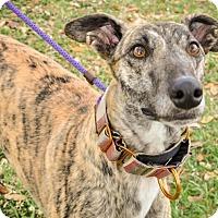 Adopt A Pet :: Topaz aka Cayenne Topaz - Gainesville, FL