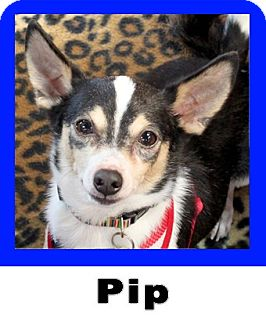 Rat Terrier/Chihuahua Mix Dog for adoption in Plano, Texas - Pip