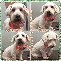 Adopt A Pet :: Scottie - South Gate, CA