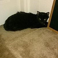 Domestic Shorthair Cat for adoption in Surprise, Arizona - Madelyn
