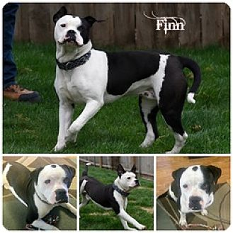 American Bulldog Puppy for adoption in Sioux Falls, South Dakota - Finn