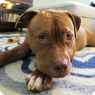 Pit Bull Terrier Mix Dog for adoption in Austin, Texas - Monty
