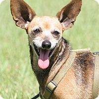 Adopt A Pet :: Batgirl - North Fort Myers, FL