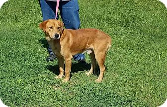 Golden Retriever/Labrador Retriever Mix Dog for adoption in Mount Holly, New Jersey - Scrappy