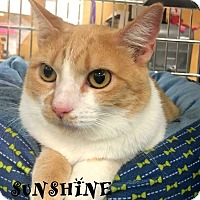 Domestic Shorthair Cat for adoption in Mooresville, North Carolina - SUNSHINE