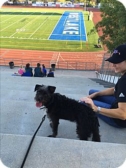 Miniature Schnauzer/Norfolk Terrier Mix Puppy for adoption in beverly hills, California - Fred