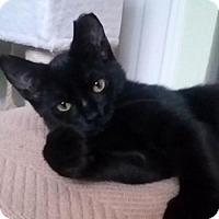 Domestic Longhair Kitten for adoption in Asheville, North Carolina - B.C.