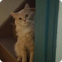 Domestic Longhair Cat for adoption in Minneapolis, Minnesota - Alexander