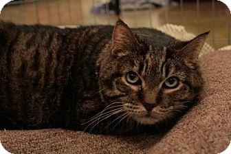 Domestic Shorthair Cat for adoption in Sacramento, California - Dorrie