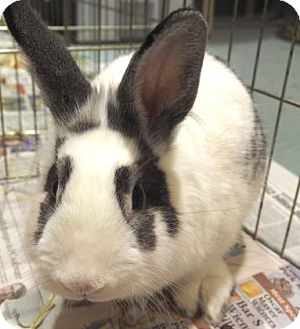 American Mix for adoption in New Orleans, Louisiana - Moon Bun