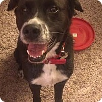 Border Collie/Labrador Retriever Mix Dog for adoption in Minerva, Ohio - Ollie