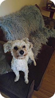 Maltese/Poodle (Miniature) Mix Dog for adoption in Whitestone, New York - Rylee