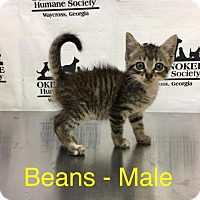 Domestic Shorthair Kitten for adoption in Waycross, Georgia - Beans