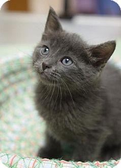 Domestic Shorthair Cat for adoption in DFW Metroplex, Texas - Julie Ann