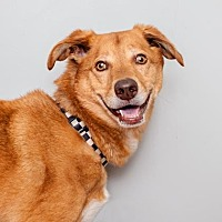 German Shepherd Dog Mix Dog for adoption in Mission Hills, California - Champion