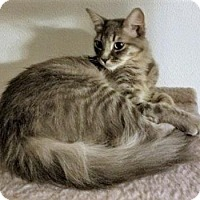 Domestic Shorthair Cat for adoption in Encinitas, California - Cuddles