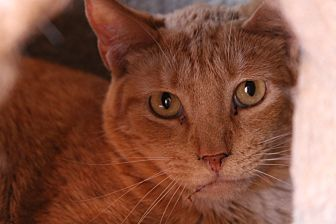 Domestic Shorthair Cat for adoption in Round Rock, Texas - Buddy