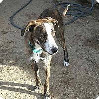 Adopt A Pet :: Hamlet - Reno, NV