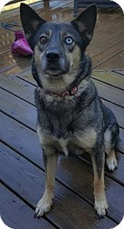 Husky/Shepherd (Unknown Type) Mix Dog for adoption in Hewitt, New Jersey - Abby