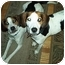 Photo 2 - Foxhound Dog for adoption in Waldorf, Maryland - Sawyer