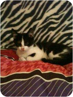 Domestic Mediumhair Kitten for adoption in Mobile, Alabama - Jangle