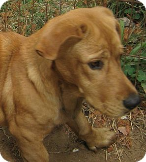 Basset Hound/Golden Retriever Mix Dog for adoption in Kingwood, Texas - Sebastian