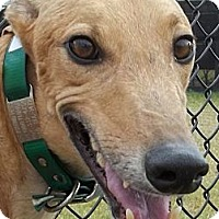 Adopt A Pet :: HKK Cashmein - Longwood, FL