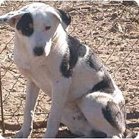 Akita/Border Collie Mix Dog for adoption in Anton, Texas - Petey
