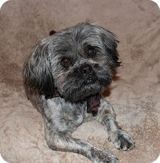 shih tzu mix rescue yadkinville nc shih tzu mix meet oscar a dog for adoption 1999