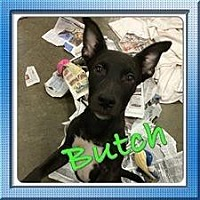 Adopt A Pet :: Butch - Fresno, CA