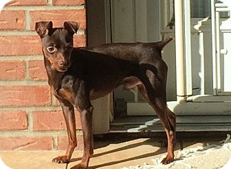 Miniature Pinscher Dog for adoption in Nashville, Tennessee - George