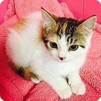 Adopt A Pet :: Polly - Berkeley Hts, NJ