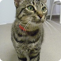 Adopt A Pet :: Calista - Hamburg, NY