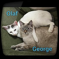 Domestic Shorthair Cat for adoption in Atlanta, Georgia - Olaf	150248