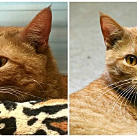 Domestic Shorthair Cat for adoption in Forked River, New Jersey - Wolverine