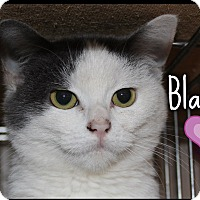 Adopt A Pet :: Blanket (POM-KS) - Spring Valley, NY