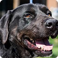 Labrador Retriever Dog for adoption in Jasper, Alabama - Rocky