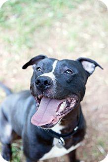 American Pit Bull Terrier Mix Dog for adoption in Atlanta, Georgia - Blaze