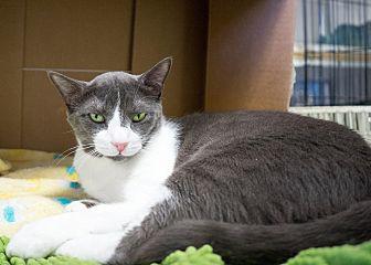 Domestic Shorthair Cat for adoption in Montclair, California - Zoro